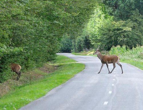 La prolifération des cerfs et le trafic