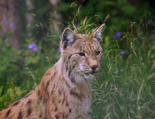 Lynx lâché à Genève : encore une belle « Genferei »  !